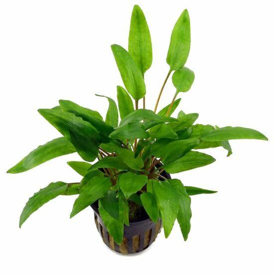 Aquaflora Cryptocoryne wendtii 'Green' - PE kosaras
